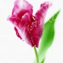 Розовый тюльпан С