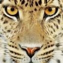 Хищники_Леопард