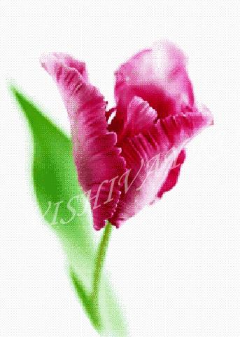 Розовый тюльпан A